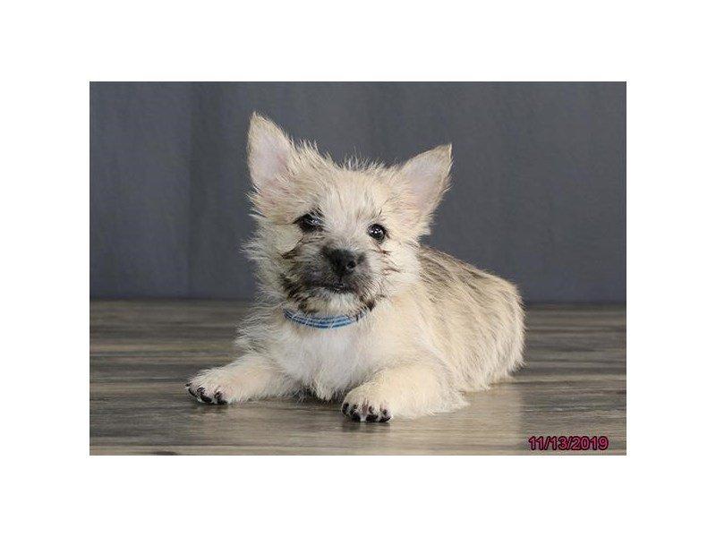 Cairn Terrier-Male-Wheaten-2553896-Petland Lewis Center