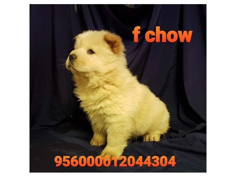 Chow Chow-Female-Cream-2561363-Petland Lewis Center