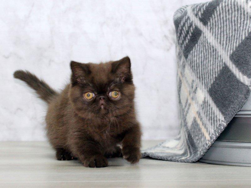 Exotic Shorthair-CAT-Female-Chocolate-2558311-Petland ...