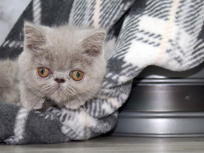 Exotic Shorthair-CAT-Male-Lilac-2558288-Petland Lewis Center