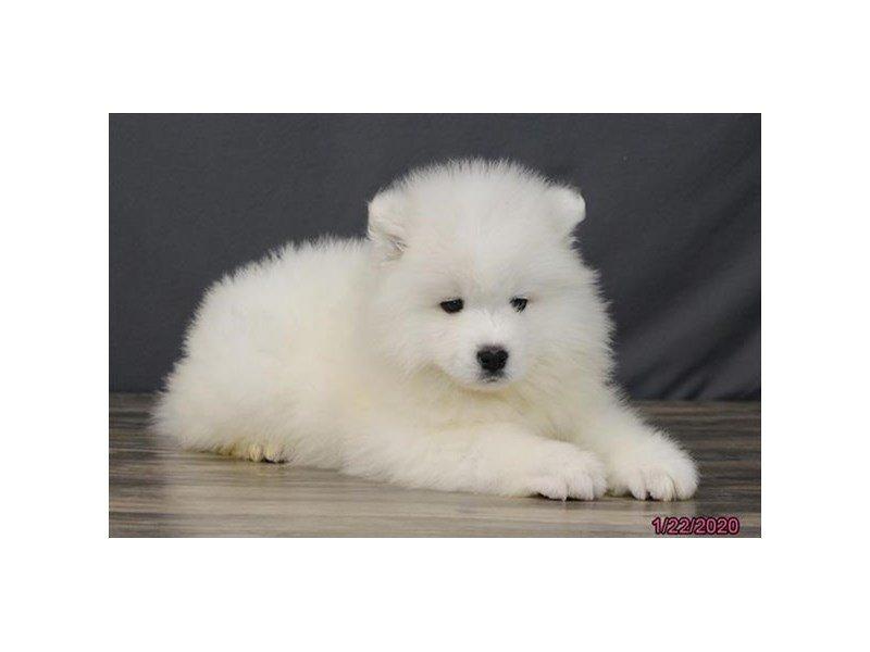 Samoyed-Male-White-2603379-Petland Lewis Center