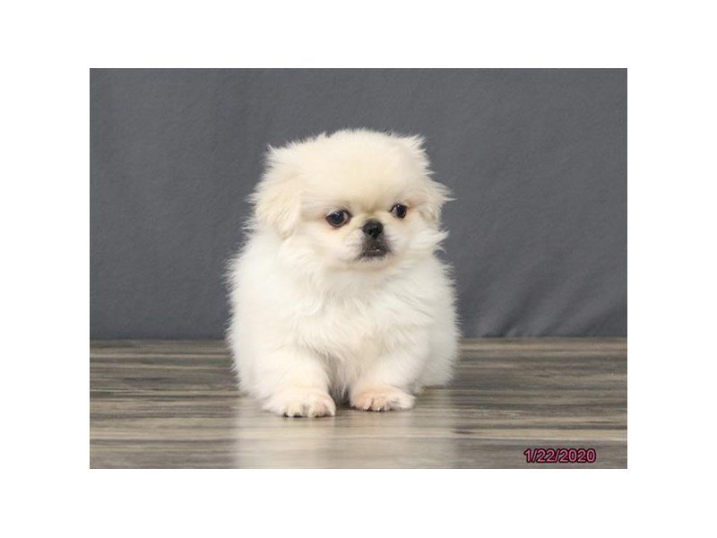 Pekingese-Male-Cream-2603394-Petland Lewis Center