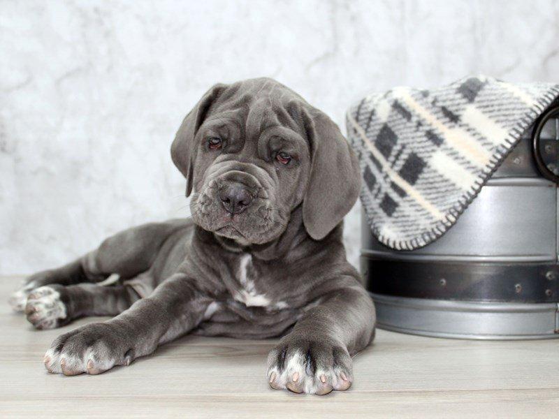 Neapolitan Mastiff-Female-Blue-2618113-Petland Lewis Center