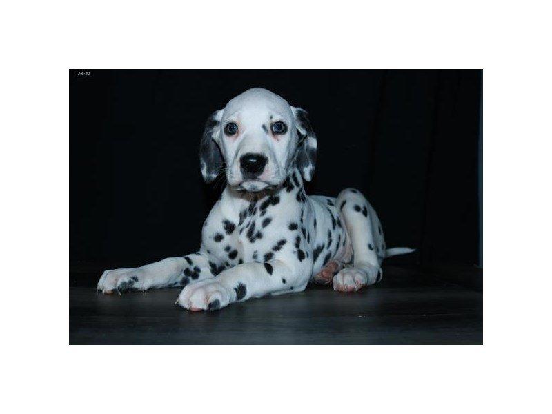 Dalmatian-Female-Black / White-2625132-Petland Lewis Center