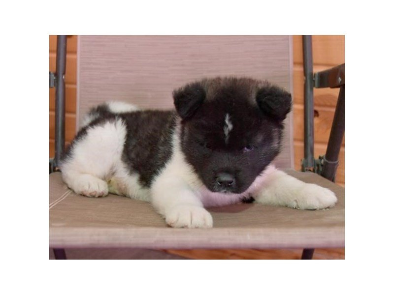 Akita-Male-Black / White-2625153-Petland Lewis Center