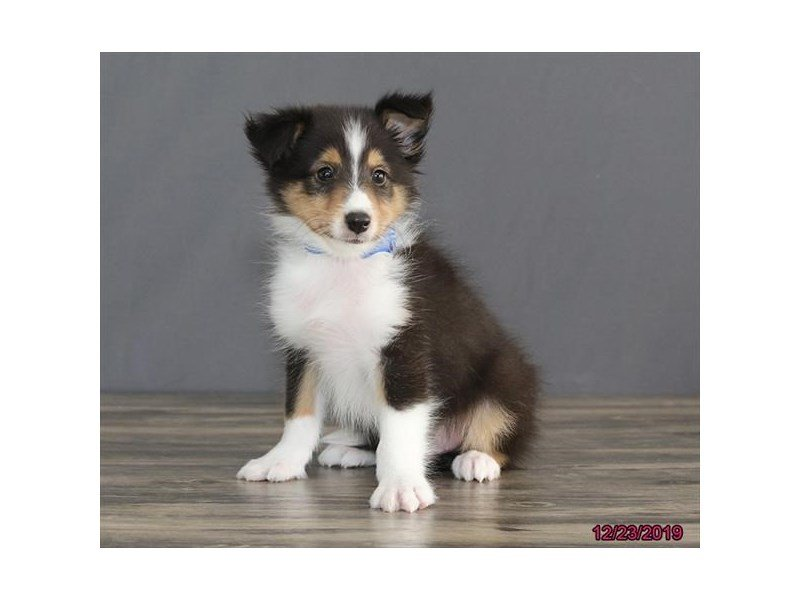 Shetland Sheepdog-Male-Black White / Tan-2574189-Petland Lewis Center