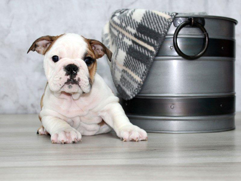 English Bulldog-Female-Red-2574382-Petland Lewis Center