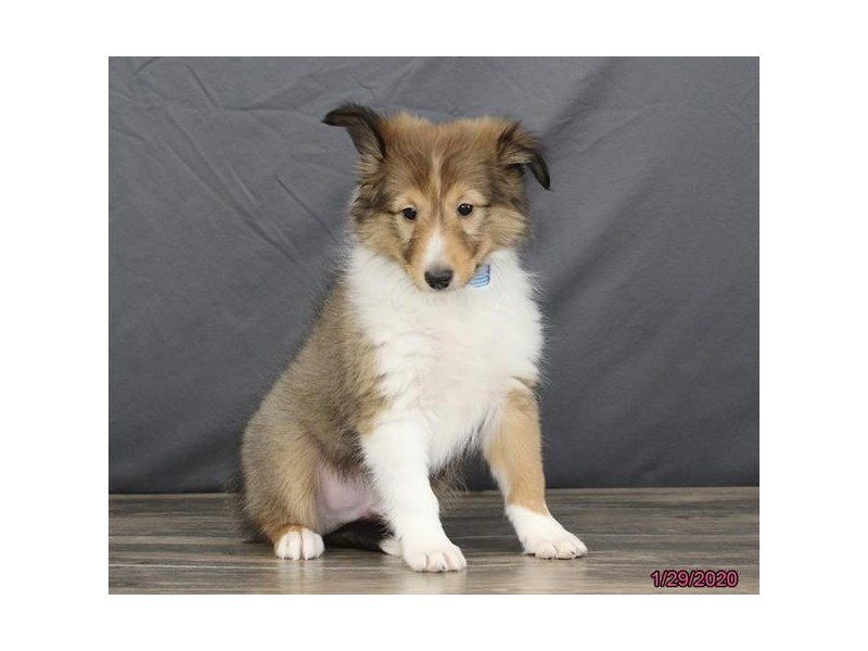 Shetland Sheepdog-Male-Sable / White-2610961-Petland Lewis Center