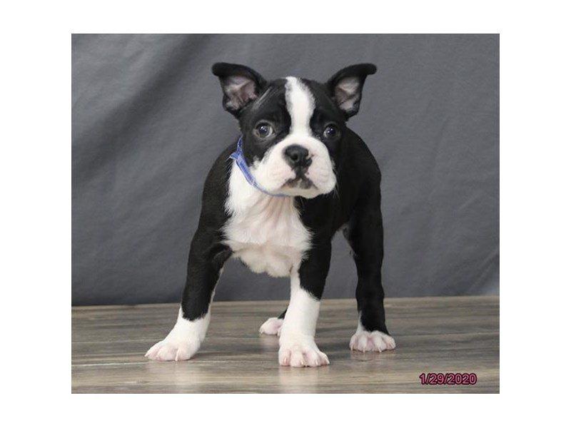 Boston Terrier-Male-Black / White-2611010-Petland Lewis Center
