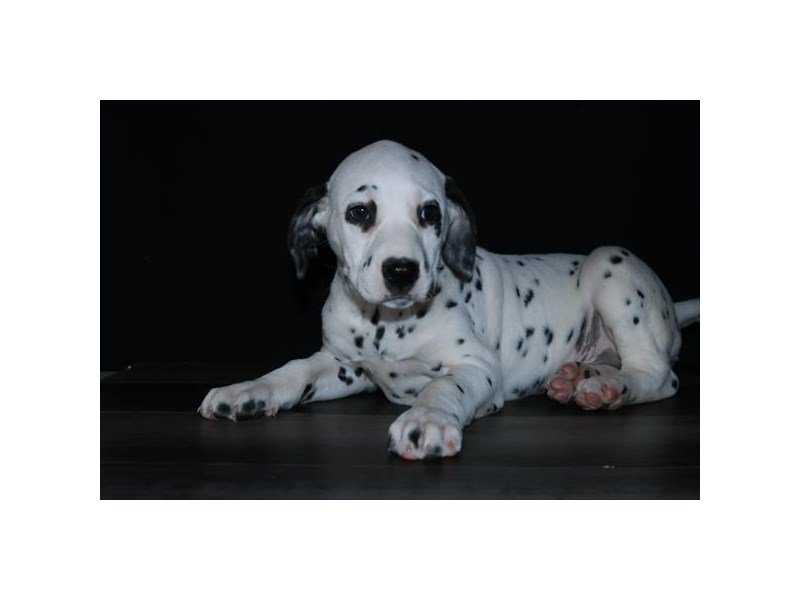 Dalmatian-Male-Black / White-2625133-Petland Lewis Center
