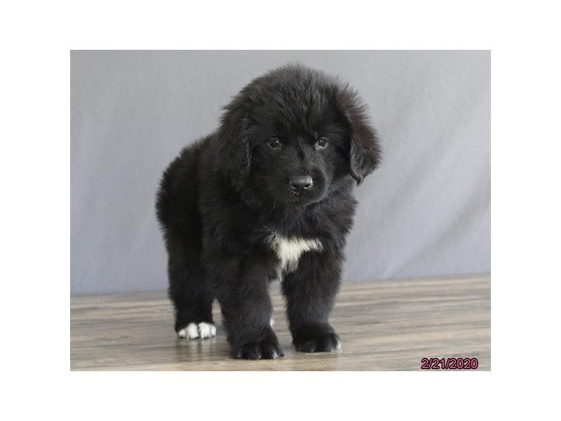 Newfoundland-Male-Black-2632462-Petland Lewis Center