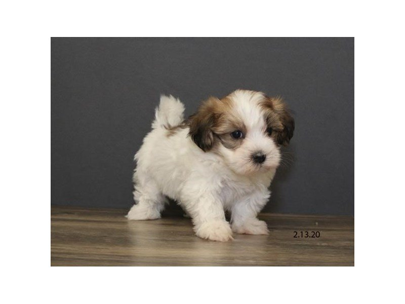 Coton De Tulear-Female-Brown / White-2639804-Petland Lewis Center