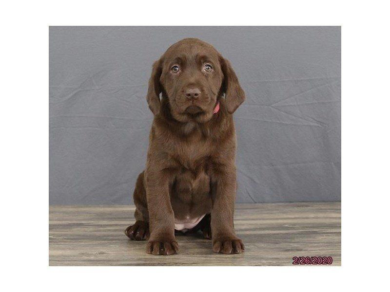 Labrador Retriever-Female-Chocolate-2639810-Petland Lewis Center