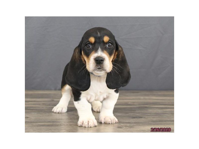 Basset Hound-Male-Tri-Colored-2639815-Petland Lewis Center