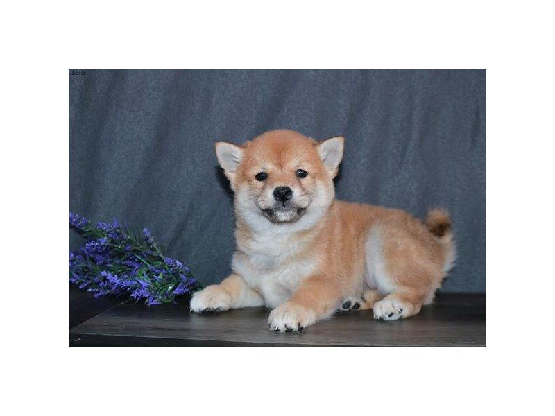 Shiba Inu-Male-Red-2647704-Petland Lewis Center