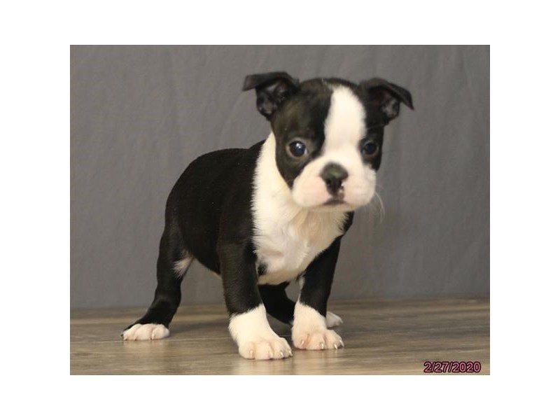 Boston Terrier-Female-Black / White-2647707-Petland Lewis Center