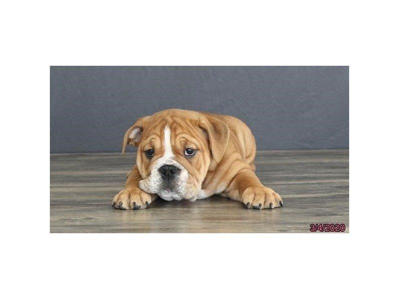 English Bulldog-Male-Red-2647716-Petland Lewis Center
