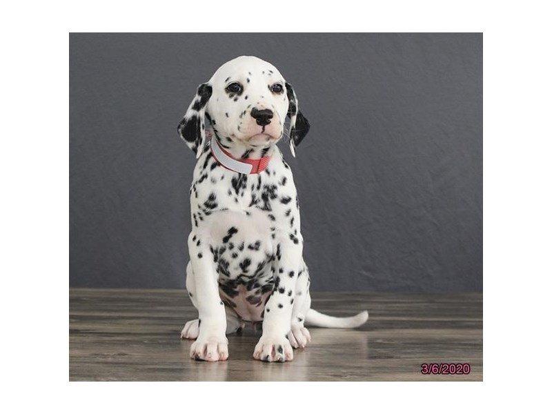 Dalmatian-Female-wh blk-2647824-Petland Lewis Center