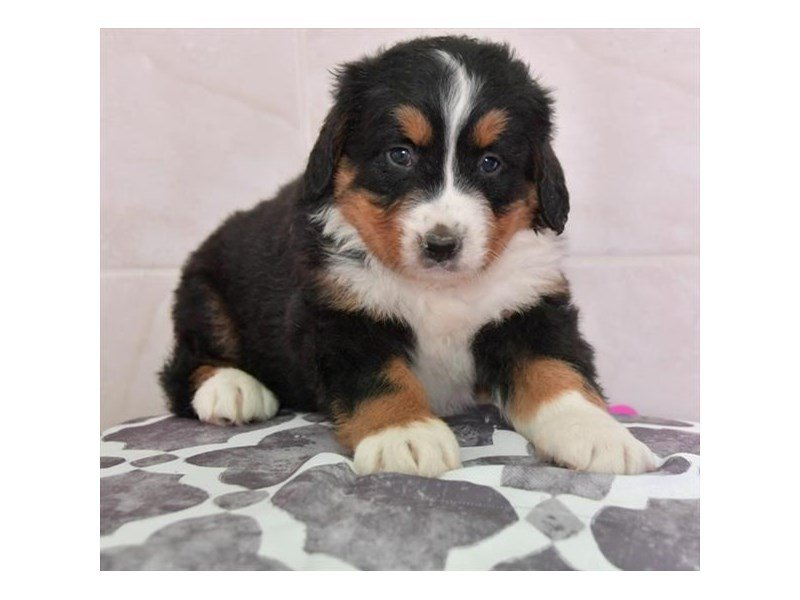 Bernese Mountain Dog-Female-Tri-Colored-2654851-Petland Lewis Center