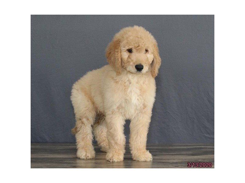 Goldendoodle 2nd Gen-Male-Cream-2654852-Petland Lewis Center