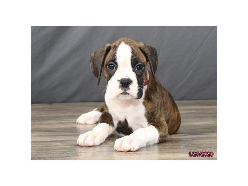 Boxer-Female-Brindle / White-2611011-Petland Lewis Center