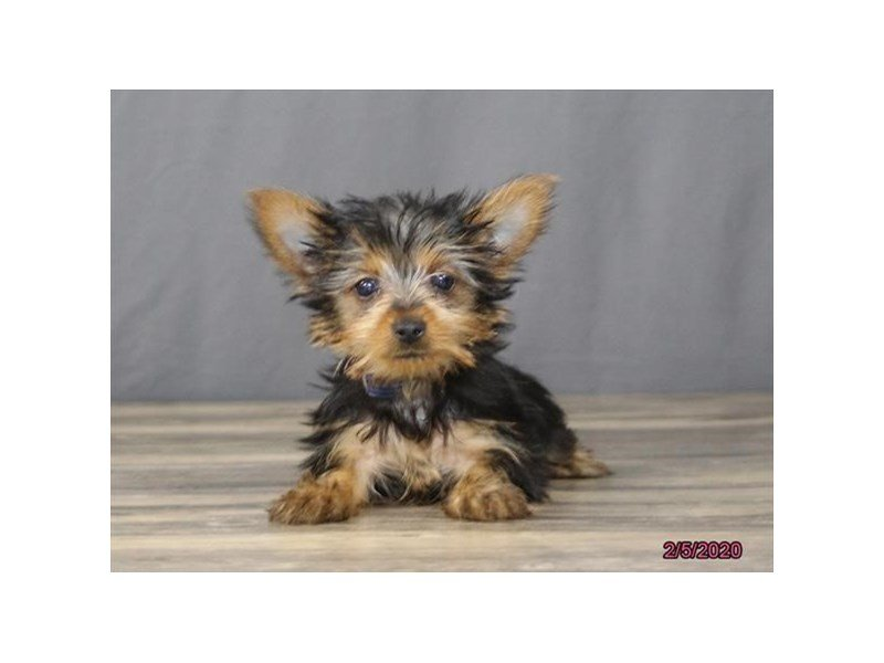Yorkshire Terrier-Male-Black / Tan-2618131-Petland Lewis Center