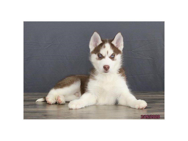 Siberian Husky-Male-Red / White-2639814-Petland Lewis Center
