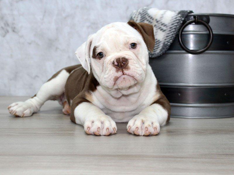 Olde English Bulldogge-Female-Chlt Tri-2634556-Petland Lewis Center