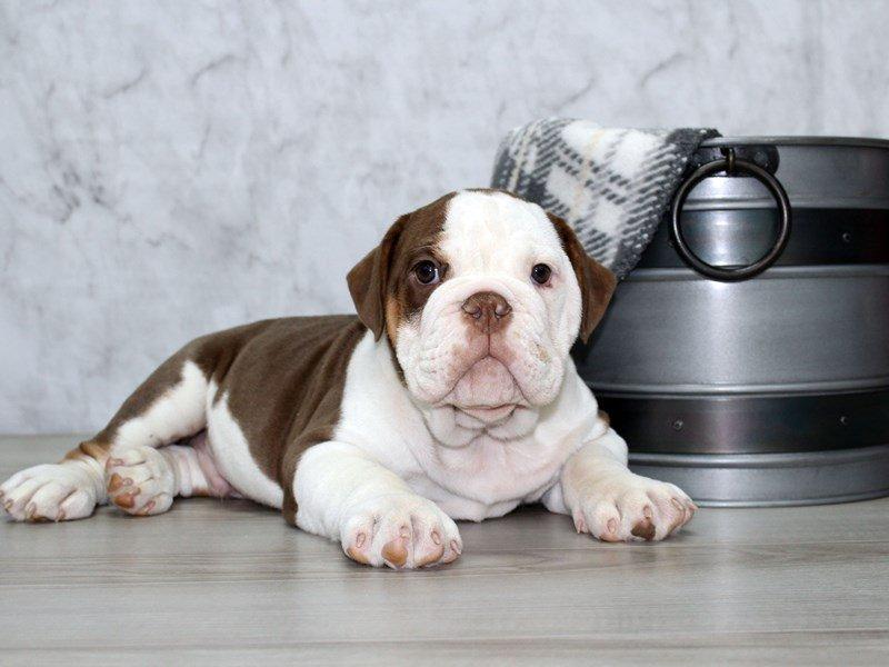 Olde English Bulldogge-Male-Chlt Tri-2634549-Petland Lewis Center