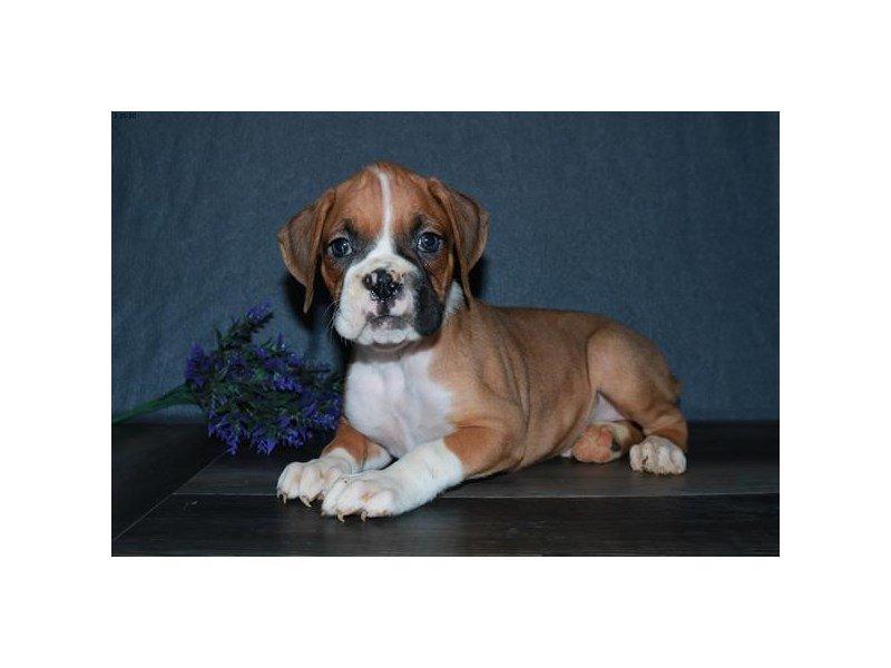Boxer-Male-MHGY-2647854-Petland Lewis Center