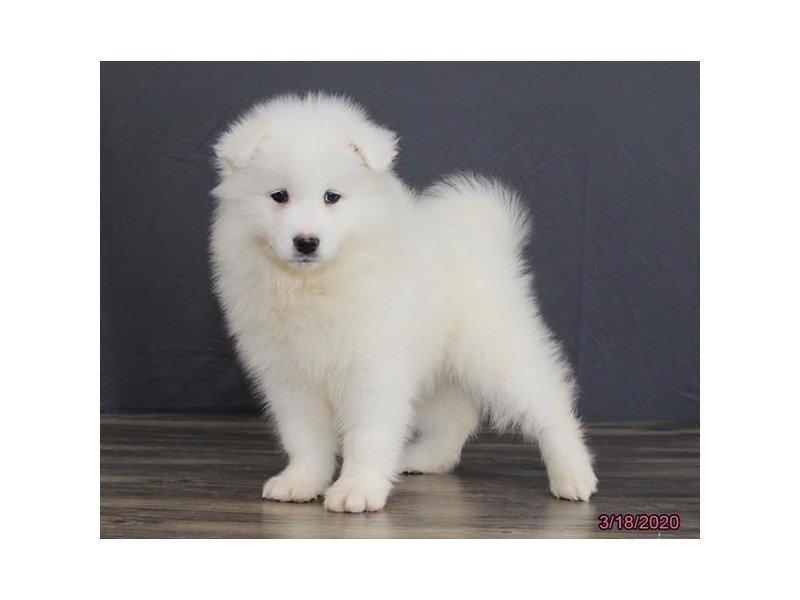 Samoyed-Female-White-2661390-Petland Lewis Center