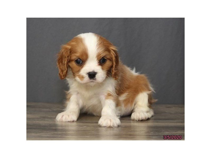 Cavalier King Charles Spaniel-Female-Blenheim-2661395-Petland Lewis Center