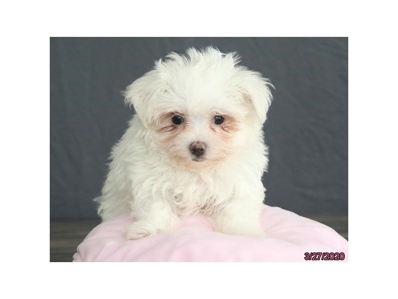Maltese-Female-White-2667687-Petland Lewis Center
