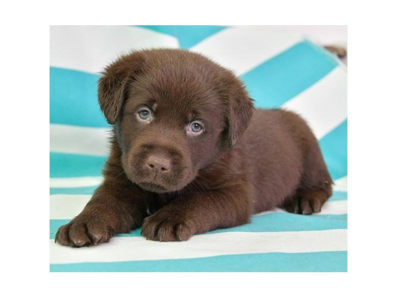 Labrador Retriever-Male-Chocolate-2673969-Petland Lewis Center