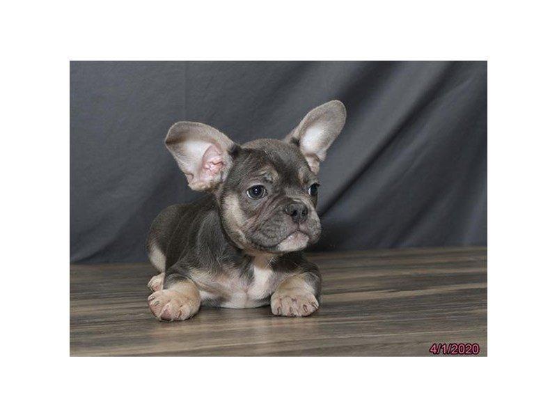 French Bulldog-Female-Blue / Tan-2673973-Petland Lewis Center