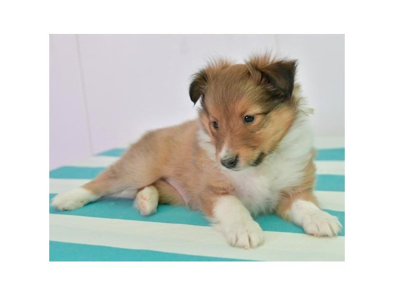 Shetland Sheepdog-Male-Sable / White-2673979-Petland Lewis Center