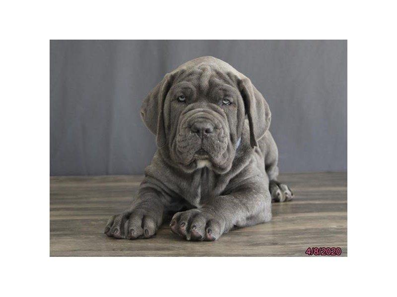 Neapolitan Mastiff-Male-Blue-2680141-Petland Lewis Center