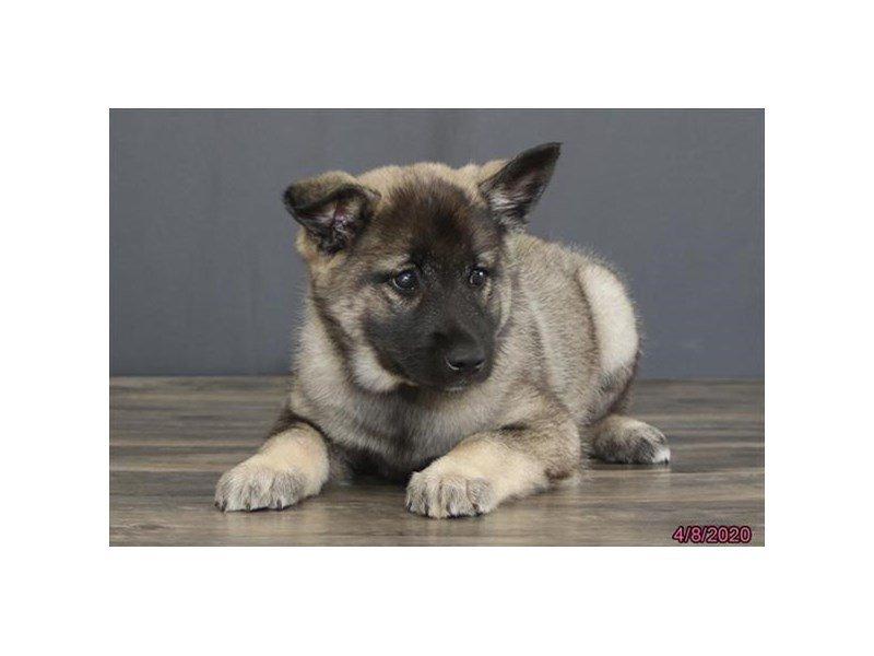 Norwegian Elkhound-DOG-Male-Black / Silver-2680149-Petland Lewis Center