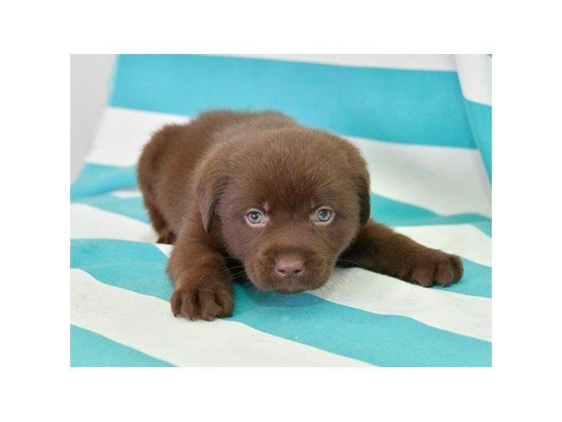 Labrador Retriever-Male-Chocolate-2687290-Petland Lewis Center
