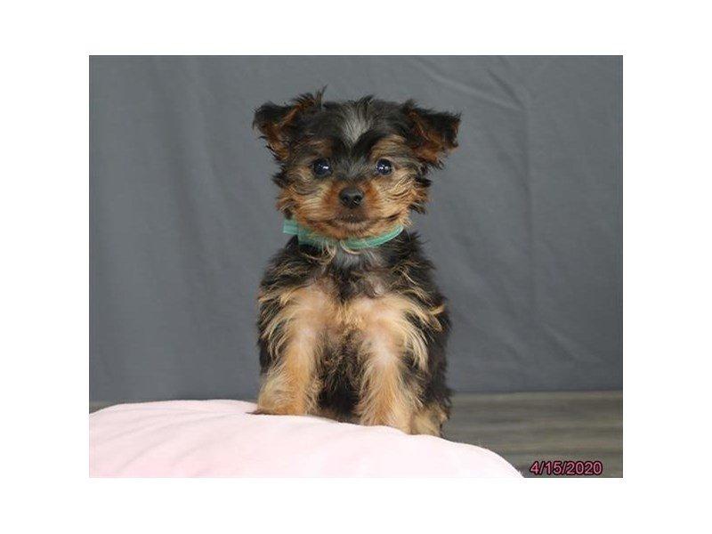 Yorkshire Terrier-Female-Black / Tan-2687300-Petland Lewis Center