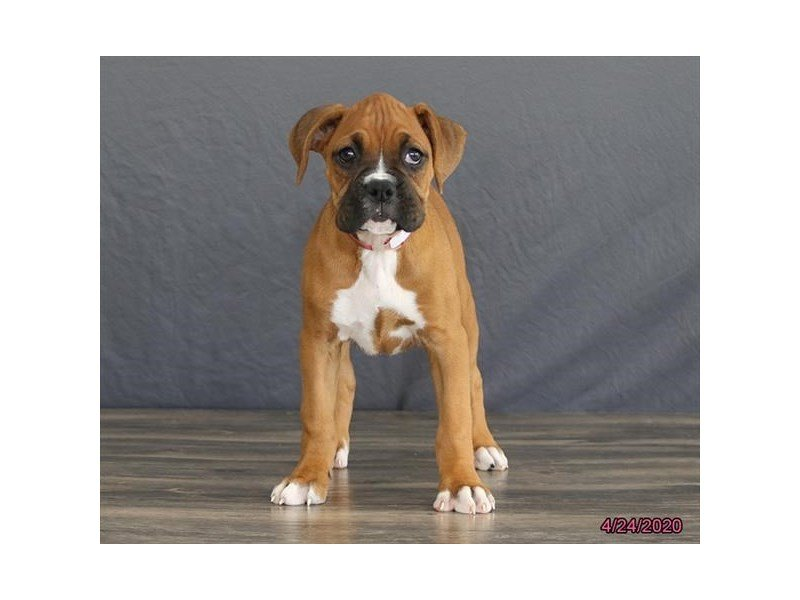 Boxer-Female-Fawn-2693804-Petland Lewis Center