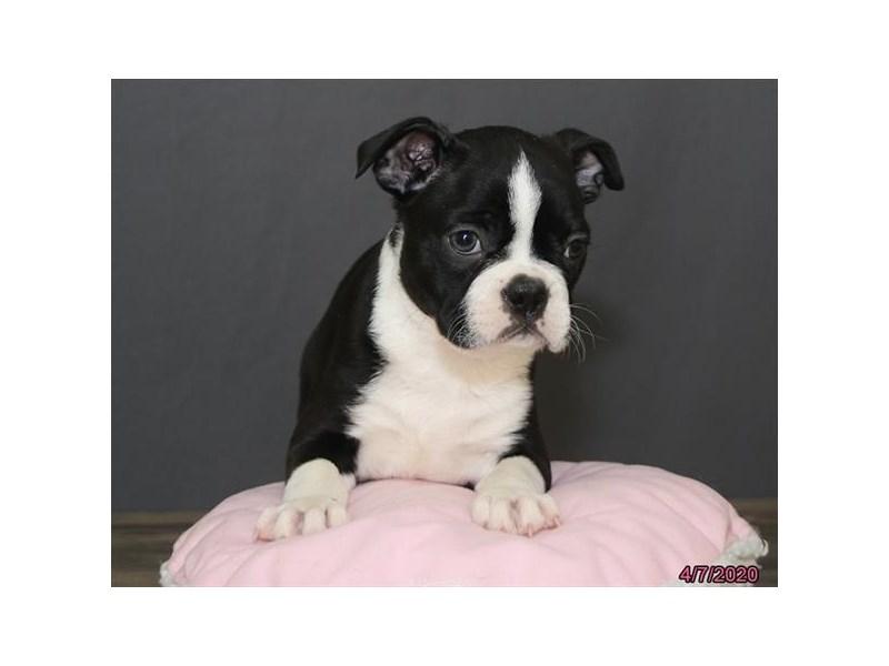 Boston Terrier-Female-Black / White-2693796-Petland Lewis Center