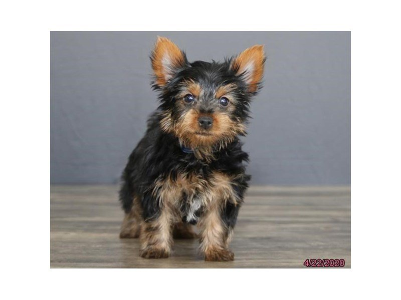 Yorkshire Terrier-Male-Black / Tan-2693798-Petland Lewis Center