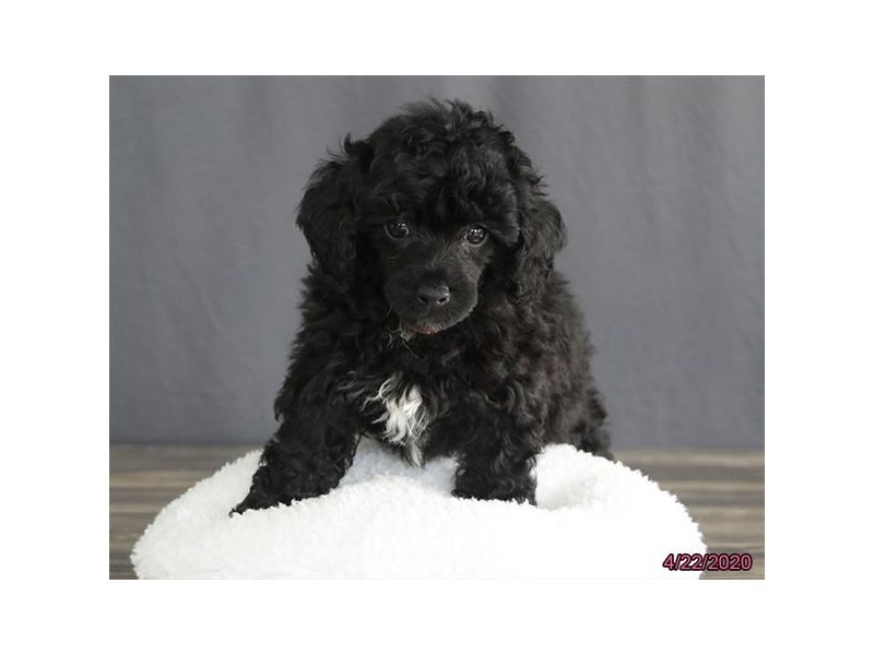 Poodle-Female-Black-2693802-Petland Lewis Center
