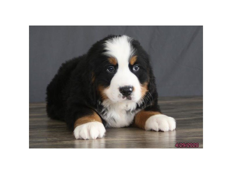 Bernese Mountain Dog-Male-Black Rust / White-2700390-Petland Lewis Center
