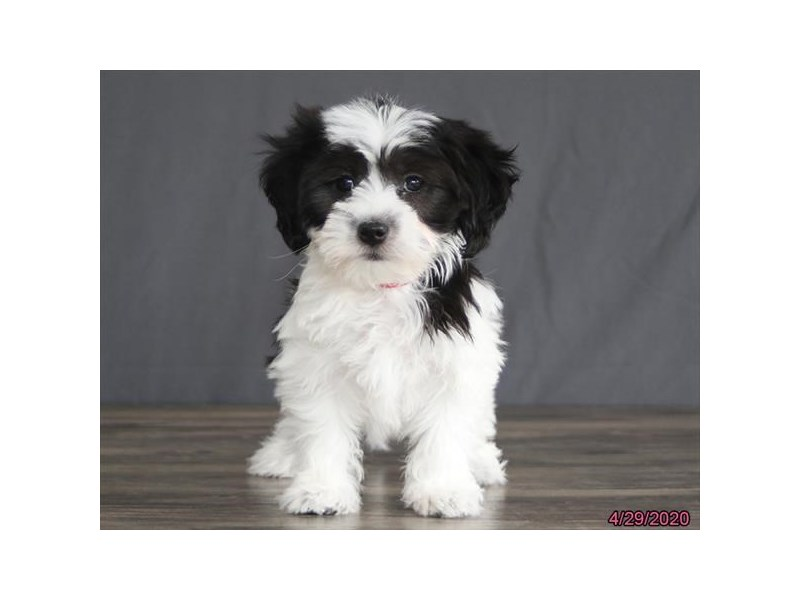 Coton De Tulear-Female-Black / White-2700393-Petland Lewis Center