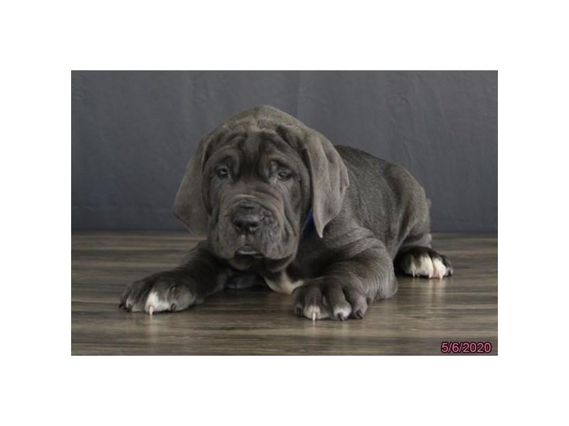 Neapolitan Mastiff-Male-Blue-2707191-Petland Lewis Center
