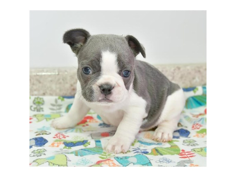 French Bulldog-Male-Blue / White-2707199-Petland Lewis Center