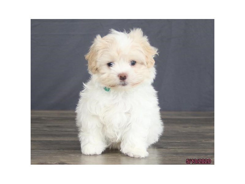 Maltese-Male-White / Cream-2713788-Petland Lewis Center
