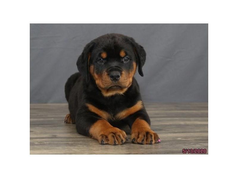 Rottweiler-Male-Black / Tan-2713793-Petland Lewis Center